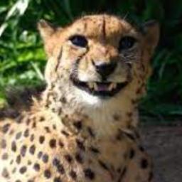 치타는 웃고있다